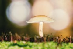 Piccoli funghi bianchi nella foresta soleggiata di autunno Fotografie Stock Libere da Diritti