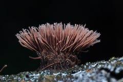 Piccoli funghi della muffa macro Fotografia Stock Libera da Diritti