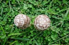 Piccoli funghi su erba verde Fotografia Stock