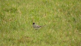 Piccoli funzionamenti della motacilla dell'uccellino su prato inglese verde Paesaggio della natura video d archivio