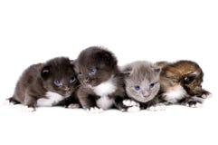 Piccoli gattini lanuginosi Fotografie Stock