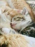 Piccoli gattini molto svegli immagini stock libere da diritti