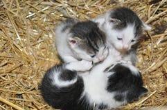 Piccoli gattini in un canestro con paglia Fotografie Stock