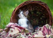 Piccoli gattini in un cestino Immagine Stock