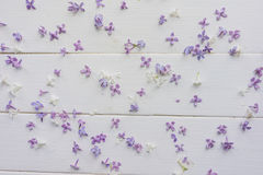 Piccoli germogli del lillà sui bordi di legno bianco-dipinti Immagine Stock