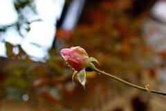 Piccoli germogli rosa dopo pioggia fotografia stock