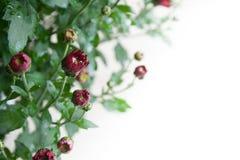 Piccoli germogli rosso scuro del crisantemo su fondo bianco alla luce delicata immagine stock libera da diritti