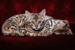 Piccoli ghepardi fotografie stock