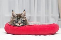 Piccoli giochi lanuginosi di Maine Coon del gattino Immagine Stock