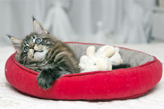Piccoli giochi lanuginosi di Maine Coon del gattino Fotografia Stock