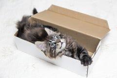 Piccoli giochi lanuginosi di Maine Coon del gattino Fotografia Stock Libera da Diritti