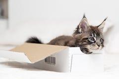 Piccoli giochi lanuginosi di Maine Coon del gattino Immagine Stock Libera da Diritti