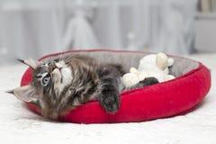 Piccoli giochi lanuginosi di Maine Coon del gattino Fotografie Stock Libere da Diritti