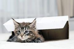 Piccoli giochi lanuginosi di Maine Coon del gattino Immagini Stock Libere da Diritti