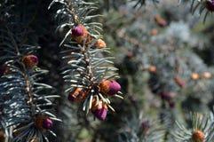 Piccoli giovani coni su un ramo di un abete rosso blu Fotografie Stock
