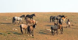 Piccoli greggi - le bande dei cavalli selvaggii sul pendio di collina nel cavallo selvaggio delle montagne di Pryor variano nel M Immagini Stock