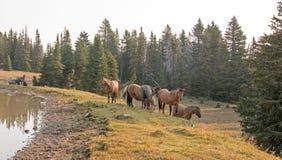 Piccoli greggi - le bande dei cavalli selvaggii sul pendio di collina nel cavallo selvaggio delle montagne di Pryor variano nel M Fotografie Stock Libere da Diritti