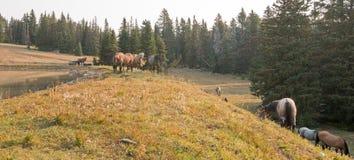 Piccoli greggi - le bande dei cavalli selvaggii sul pendio di collina nel cavallo selvaggio delle montagne di Pryor variano nel M Fotografia Stock