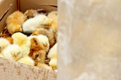 Piccoli i polli da carne gialli e neri con basso sul corpo si siedono in una vista superiore del primo piano della scatola di car immagini stock