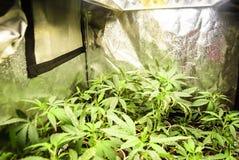 Piccoli inizio della cannabis che sono cresciuti in una tenda Fotografia Stock
