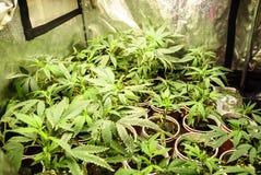 Piccoli inizio della cannabis che sono cresciuti in una tenda Immagini Stock