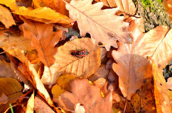 Piccoli insetti rossi sulle foglie Fotografie Stock Libere da Diritti