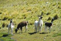 Piccoli lama sul prato verde nelle Ande Immagini Stock