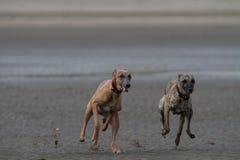 Piccoli levrieri inglesi che corrono su una spiaggia sabbiosa amichevole del cane Immagini Stock Libere da Diritti