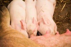Piccoli maiali che allattano al seno in un'azienda agricola di maiale Fotografia Stock