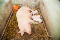 Piccoli maiali che allattano al seno in un'azienda agricola di maiale Fotografie Stock Libere da Diritti