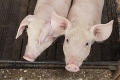 Piccoli maiali che giocano felicemente Fotografie Stock Libere da Diritti