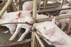 Piccoli maiali che giocano felicemente Fotografia Stock