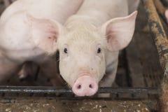 Piccoli maiali che giocano felicemente Fotografie Stock