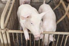 Piccoli maiali che giocano felicemente Fotografia Stock Libera da Diritti