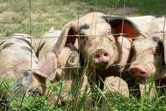 Piccoli maiali felici Fotografie Stock Libere da Diritti