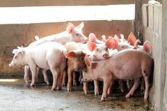 Piccoli maiali nella stalla Fotografia Stock Libera da Diritti