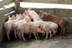 Piccoli maiali nella stalla Immagine Stock Libera da Diritti