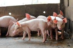 Piccoli maiali nella stalla Immagini Stock