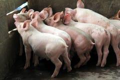 Piccoli maiali nella stalla Immagini Stock Libere da Diritti