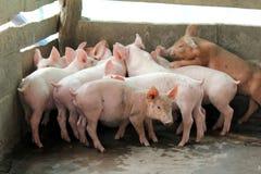 Piccoli maiali nella stalla Fotografia Stock
