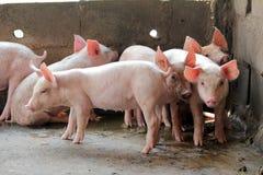 Piccoli maiali nella stalla Immagine Stock