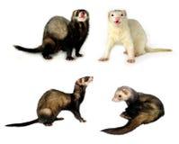 Piccoli mammiferi [isolati] Fotografie Stock