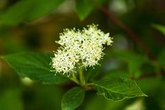 Piccoli mazzi di fiori gialli e bianchi che fioriscono su un arbusto Fotografia Stock Libera da Diritti