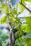 Piccoli mazzi di uva Fotografie Stock Libere da Diritti