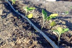 Piccoli melanzane e sistema dell'irrigazione a goccia immagini stock libere da diritti