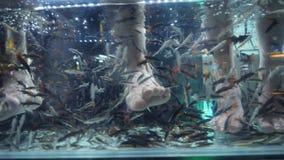 Piccoli pesci che mangiano pelle morta e che puliscono piede in acquario Procedura tailandese popolare di pedicure e della stazio video d archivio