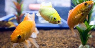 Piccoli pesci colorati Fotografia Stock Libera da Diritti