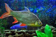Piccoli pesci del Aquarian Fotografie Stock Libere da Diritti