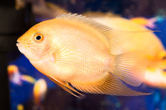 Piccoli pesci del Aquarian Immagini Stock