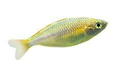 Piccoli pesci isolati su bianco Fotografia Stock Libera da Diritti